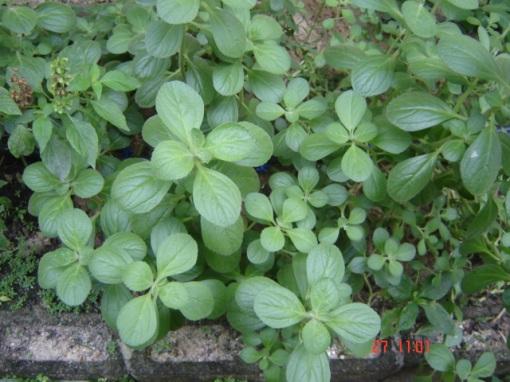 27 de junho de 2009 - Boldo Chines (Plectranthus ornatus)
