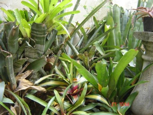 Jardim de Bromélia / Bromeliad Garden, Inclui / Includes Neoregelia marmorata, Neoregelia cruenta, Bilbergia spp., Vriesias, etc..