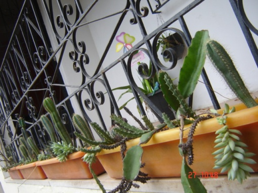 Muitos cactos e suculentas / Many cacti and suculent (Lobivia, Carnegia, Cereus, Melocactus, Aeonium, Aloe, Crassula, Echeveria, etc..)