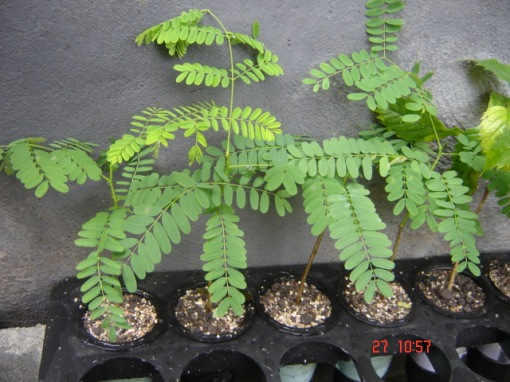 Flamboyant Amarelo (Delonix regia var 'flavida'), mudas. / Yellow royal poinciana seedlings.