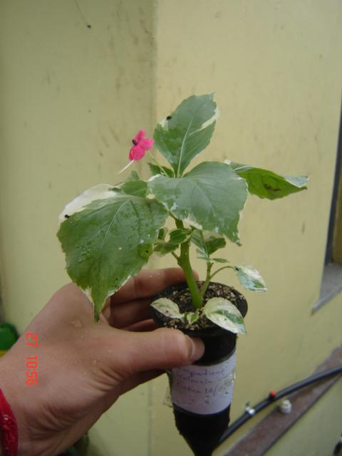 Impatiens walleriana variegata Muda