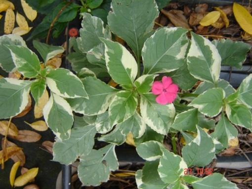 Impatiens walleriana variegata