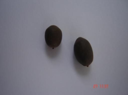 Duas sementes frescas de Flor-de-Lótus (Nelumbo nucifera). Aqui elas estão no estado natural e se postas a germinar não germinariam. /  Two fresh seeds of Lotus Flower (Nelumbo nucifera). Here they are in nature form and are not able germinate.