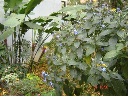 Jardim sob o Cajazeiro / Garden under Spondias dulcis tree: Muitas marias-sem-vergonha (Impatiens spp.), Heliconia stricta, Camarão-Azul (Eranthemum pulchelum) e Raphis excelsa.