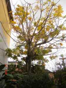 Cajazeiro (Spondias dulcis) perdendo as folhas e cores outonais / Spondias dulcis dropping leaves and fall colors.