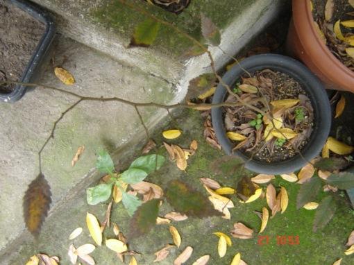Zelkova serrata em dormência no inverno do Rio de Janeiro, planta obtida de sementes em 2005. / Zelkova serrata in dormancy in the winter of Rio de Janeiro, plant from seed in 2005.
