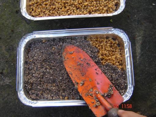 Cubra os grãos com mais uma camada de terra de excelente qualidade.