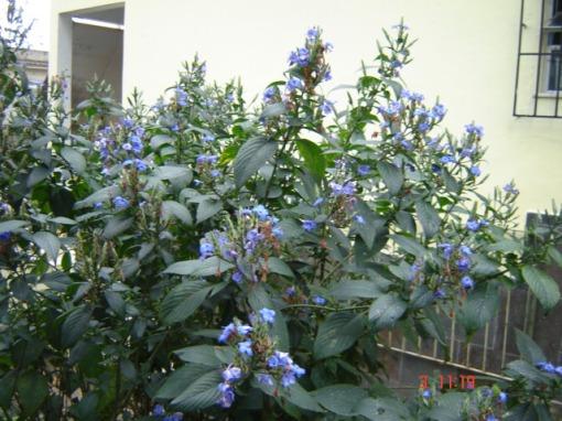 Camarão Azul (Eranthemum pulchelum)