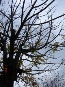 Cajazeiro (Spondias dulcis) quase totalmente sem folhas.