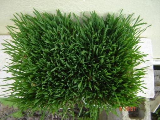 Em mais 3 dias a grama estará assim, pronta para consumo!