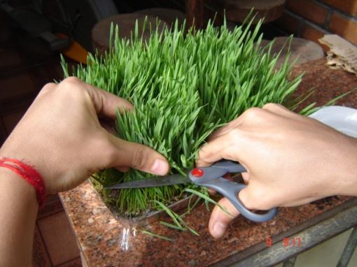 O jeito certo de cortar a grama do trigo.