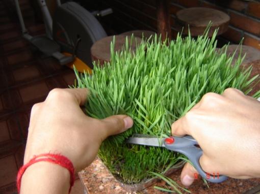 Cada bandeja renderá alguns cortes dependendo do tamanho. Após o primeiro corte a grama continua crescendo e poderá ser cortada mais algumas vezes.