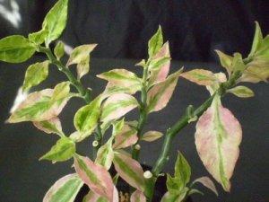 Pedilanthus tithymaloides de folhas variegatas