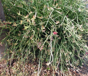 Pedilanthus tithymaloides5