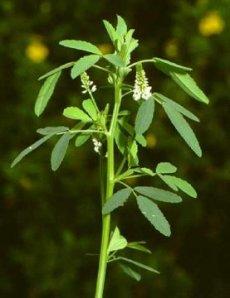Planta de Feno-grego