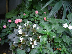 Beijos (Impatiens walleriana) e Begonias (Begonia x semperflorens)