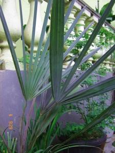 Palmeira Azul (Bismarckia nobilis). Ficou bem mirradinha por anos nesse vaso. Em poucas semanas após a aplicação do Superthrive ela lanções 3 folhas grandonas, em breve vai precisar de um espaço maior.