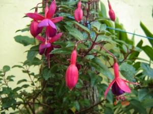 Brinco-de-Princesa (Fuchsia speciosa)