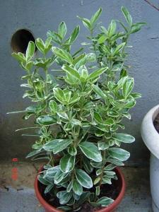 Eonymus fortunei 'Emerald Gaiety'. Essa é daquelas plantas compradas que morrem em duas semanas. Devido ao uso do Superthrive e Osmocote ela não morreu, e ainda se desenvolveu mais!