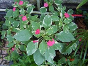 Impatiens walleriana 'variegata'
